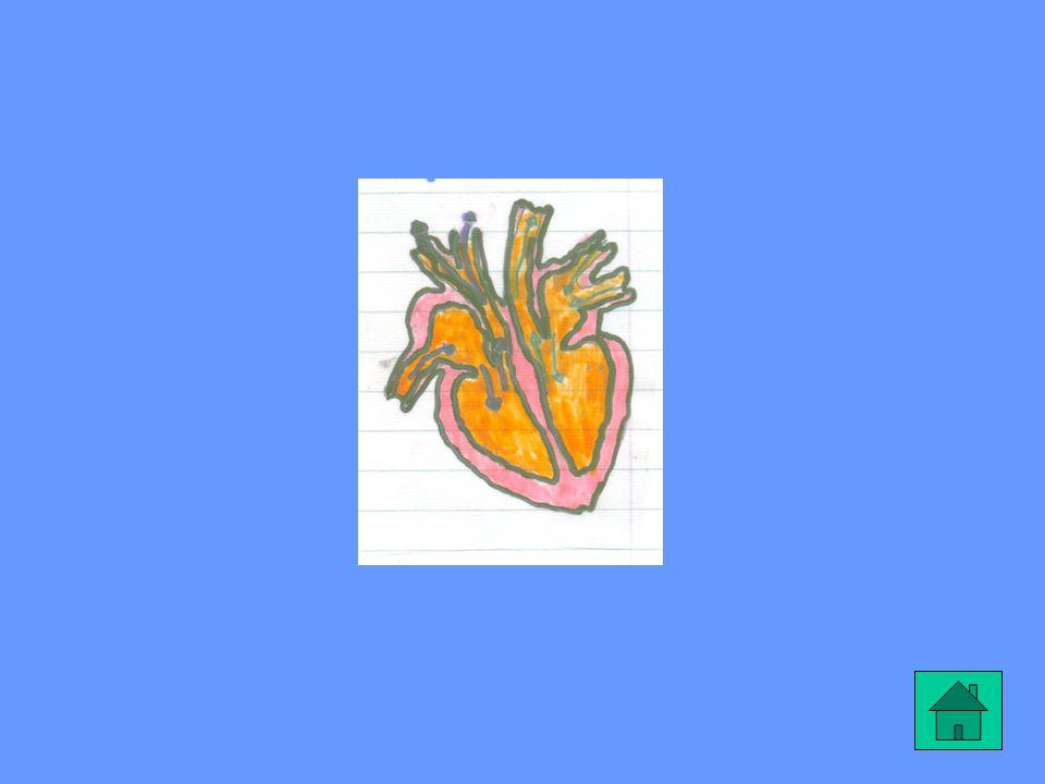 IL RITMO DEL CUORE Il cuore di un adulto batte in media da 60 a 80 volte al minuto. Durante l esercizio fisico il ritmo aumenta per portare sangue in