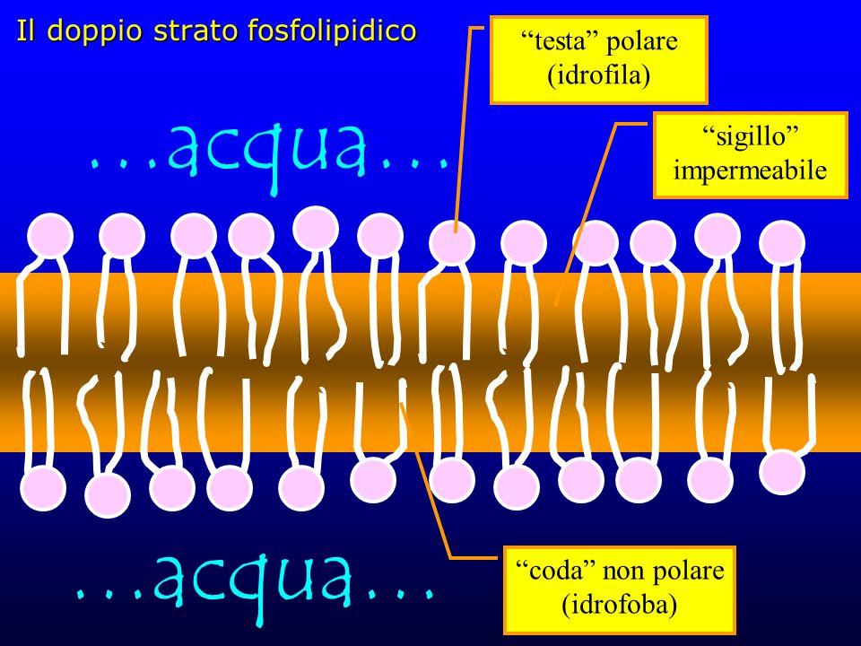 Il doppio strato fosfolipidico coda non polare (idrofoba) testa polare (idrofila) …acqua… sigillo impermeabile