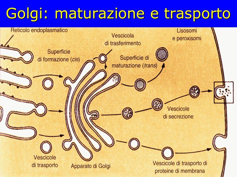 Golgi: maturazione e trasporto