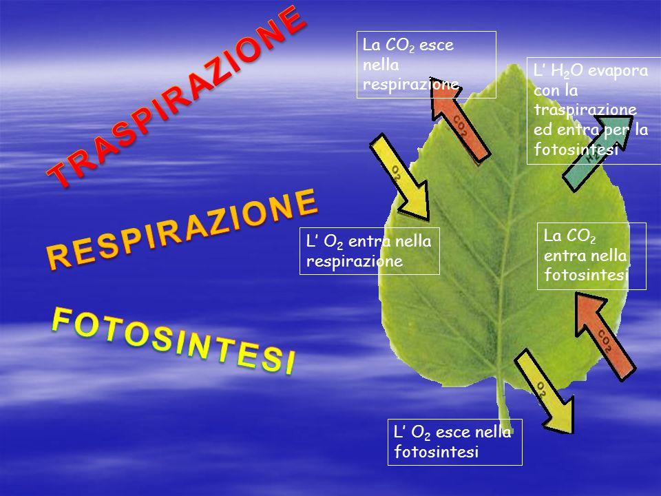 La CO 2 entra nella fotosintesi La CO 2 esce nella respirazione L O 2 entra nella respirazione L O 2 esce nella fotosintesi L H 2 O evapora con la traspirazione ed entra per la fotosintesi