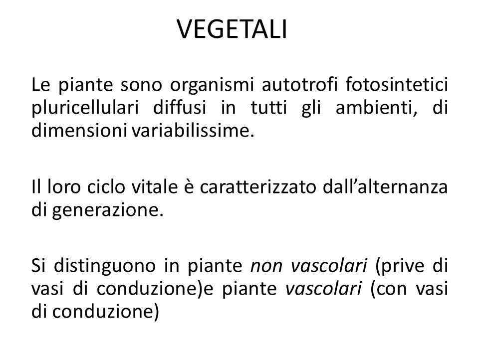 VEGETALI Le piante sono organismi autotrofi fotosintetici pluricellulari diffusi in tutti gli ambienti, di dimensioni variabilissime. Il loro ciclo vi