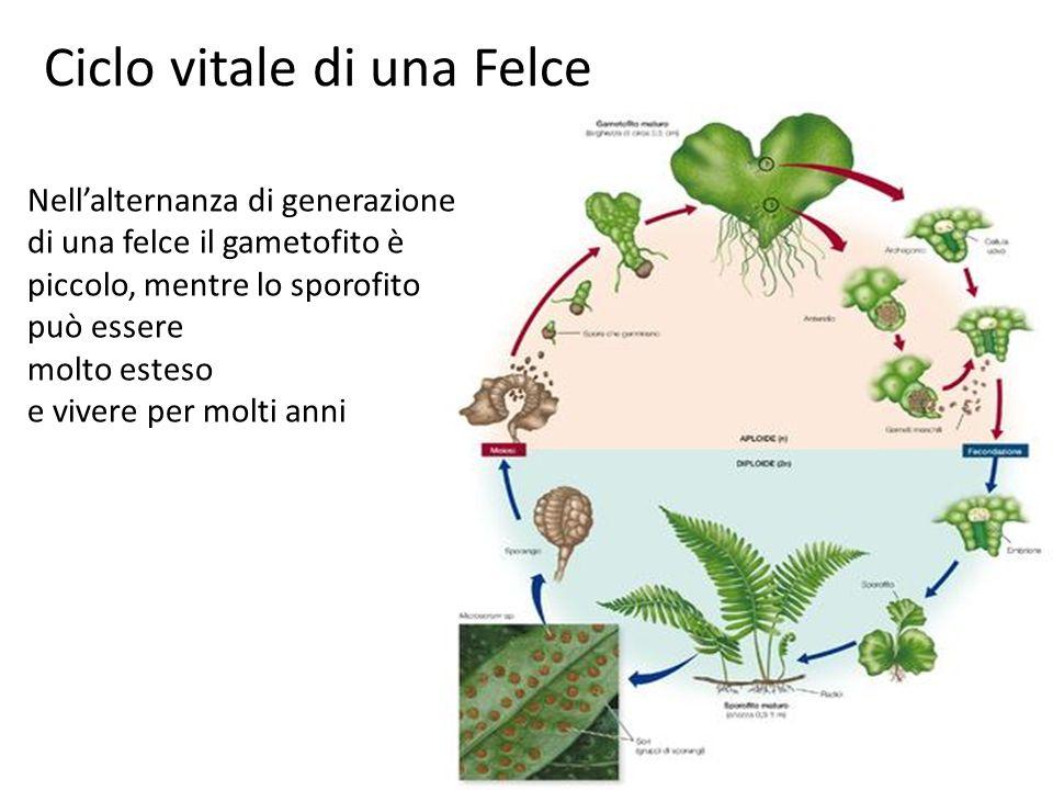 Ciclo vitale di una Felce Nellalternanza di generazione di una felce il gametofito è piccolo, mentre lo sporofito può essere molto esteso e vivere per