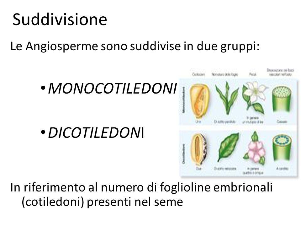 Suddivisione Le Angiosperme sono suddivise in due gruppi: MONOCOTILEDONI DICOTILEDONI In riferimento al numero di foglioline embrionali (cotiledoni) p
