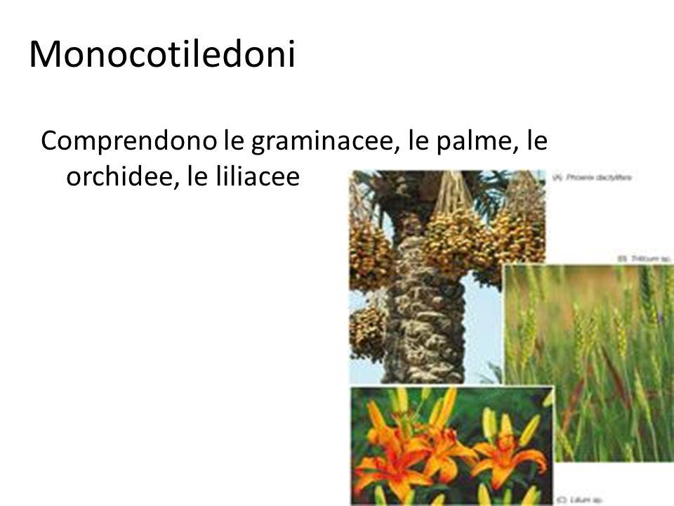 Monocotiledoni Comprendono le graminacee, le palme, le orchidee, le liliacee