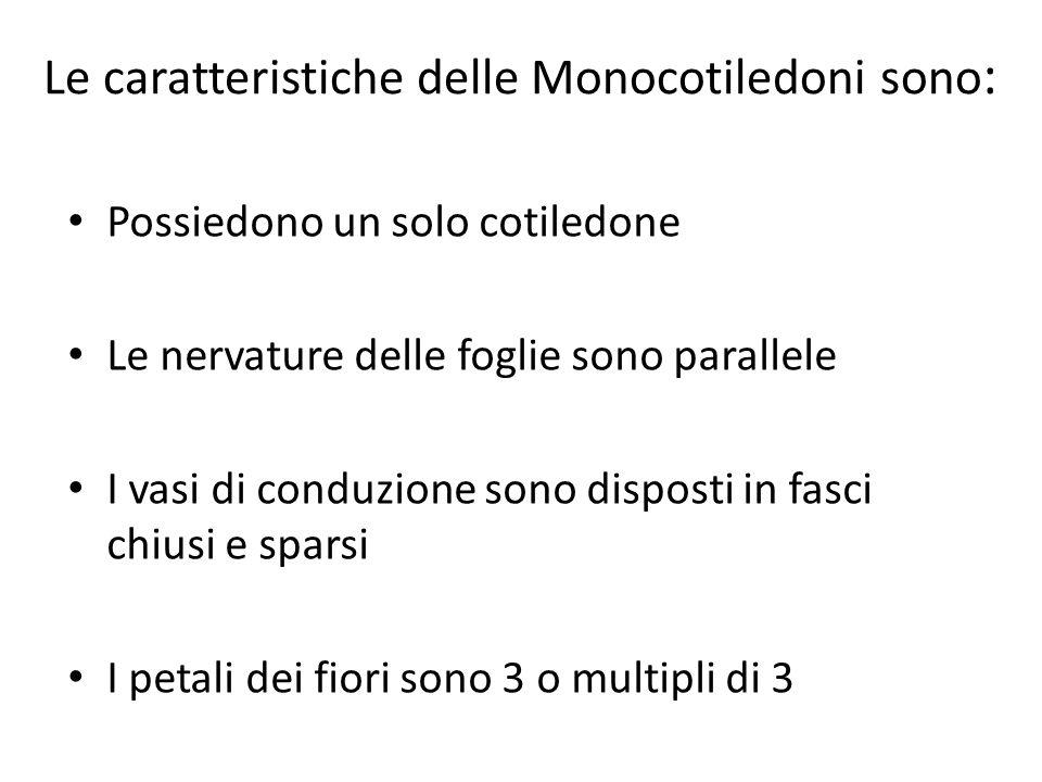 Le caratteristiche delle Monocotiledoni sono : Possiedono un solo cotiledone Le nervature delle foglie sono parallele I vasi di conduzione sono dispos