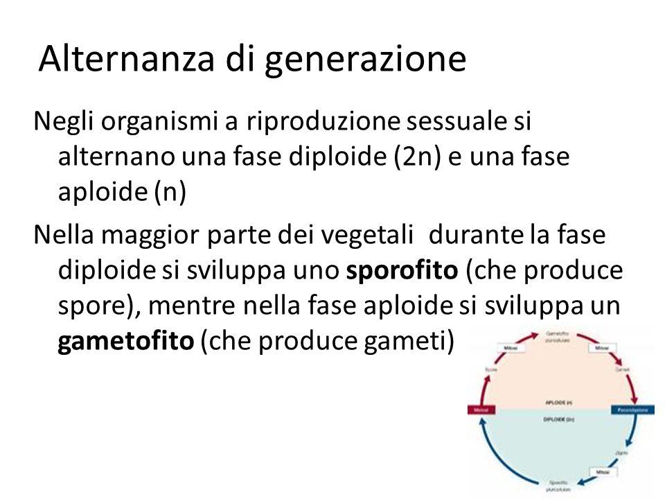 Alternanza di generazione Negli organismi a riproduzione sessuale si alternano una fase diploide (2n) e una fase aploide (n) Nella maggior parte dei v