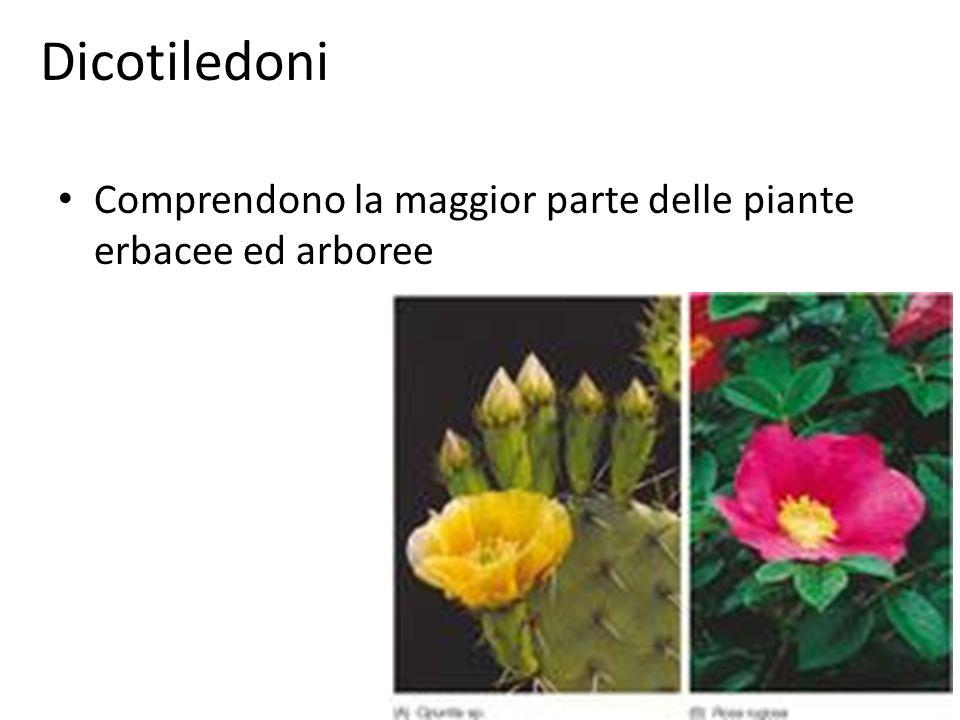 Dicotiledoni Comprendono la maggior parte delle piante erbacee ed arboree