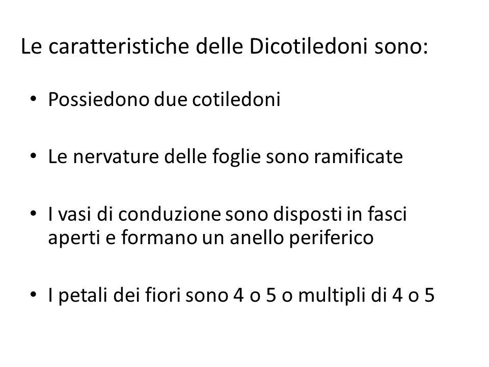Le caratteristiche delle Dicotiledoni sono: Possiedono due cotiledoni Le nervature delle foglie sono ramificate I vasi di conduzione sono disposti in