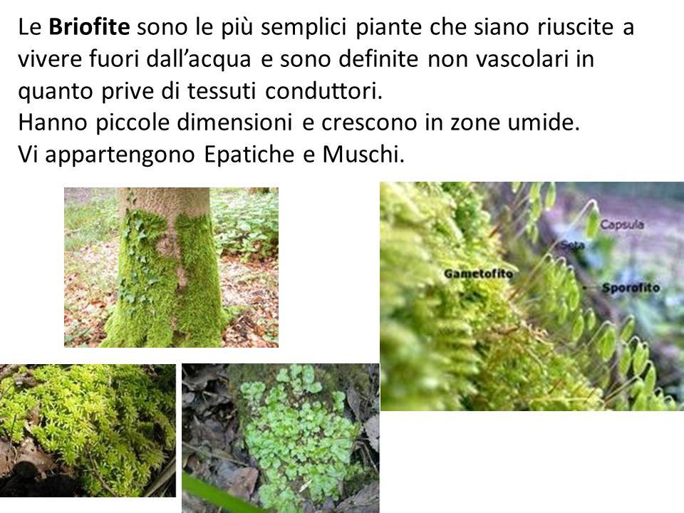 Piante vascolari Sono dotate di un sistema vascolare che fornisce sostegno alla pianta e permette di trasportare acqua e nutrienti in tutti i distretti dellorganismo, di vere foglie e radici.