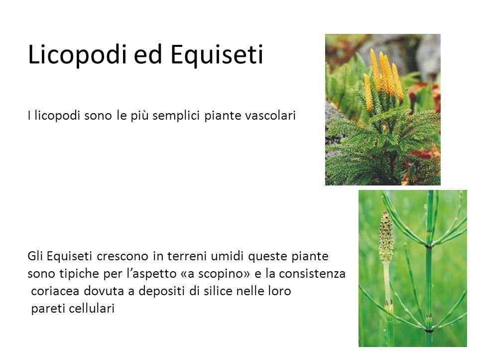 Le caratteristiche delle Monocotiledoni sono : Possiedono un solo cotiledone Le nervature delle foglie sono parallele I vasi di conduzione sono disposti in fasci chiusi e sparsi I petali dei fiori sono 3 o multipli di 3