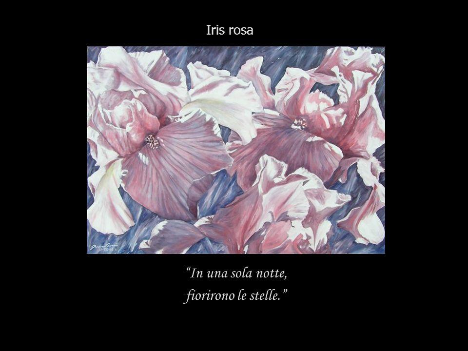 Iris rosa In una sola notte, fiorirono le stelle.