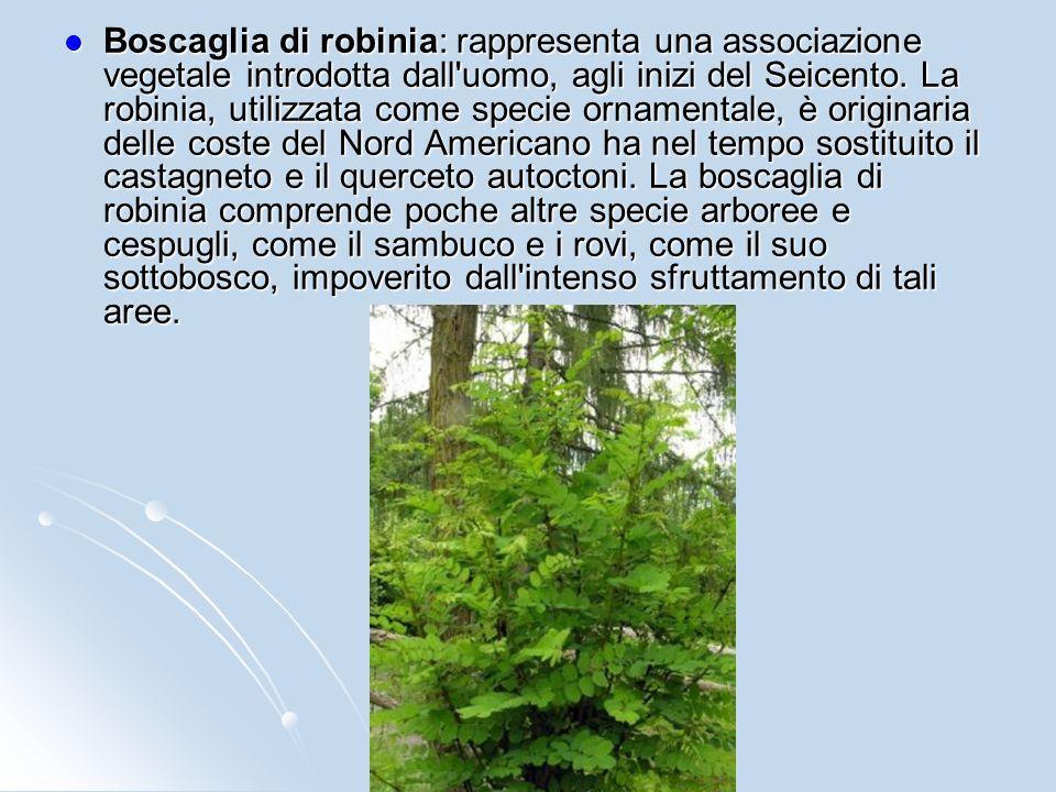 Boscaglia di robinia: rappresenta una associazione vegetale introdotta dall uomo, agli inizi del Seicento.