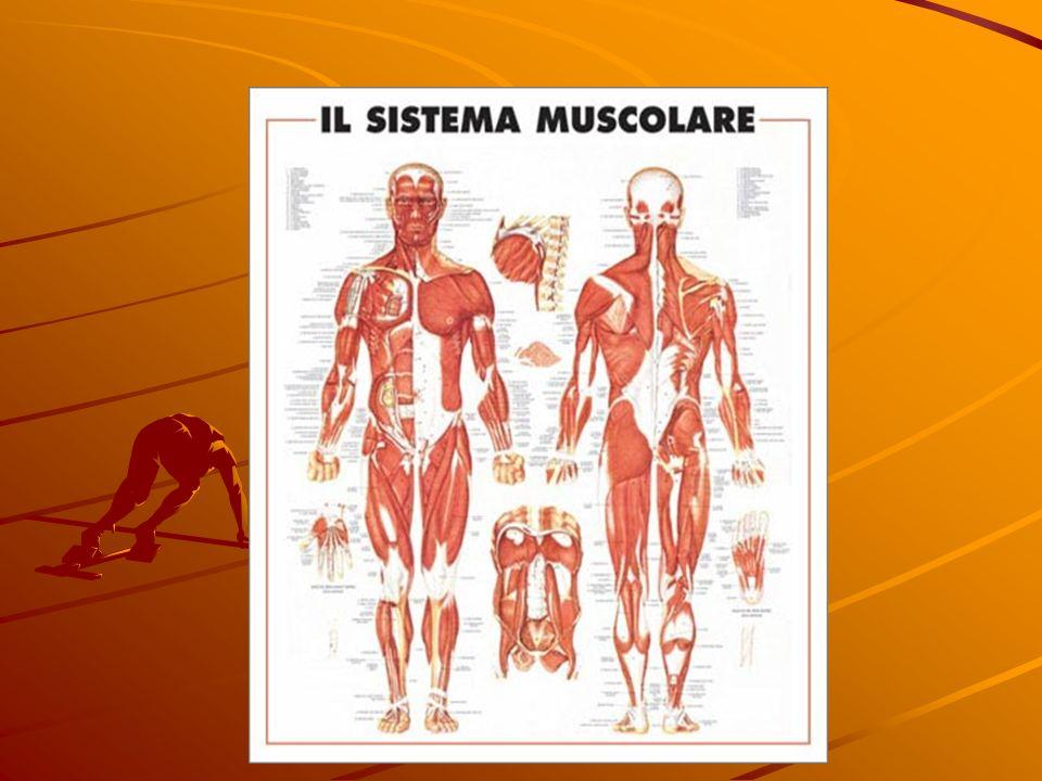 I MUSCOLI Nell uomo si chiama sistema muscolare l insieme di 500 muscoli di forma e dimensione diversa il sistema muscolare costituisce il 40% del pes