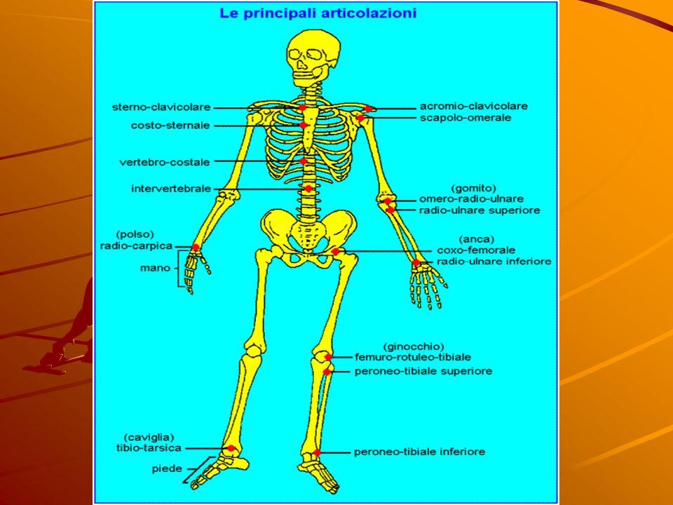 Le diverse articolazioni Le articolazioni si dividono in: articolazioni fisse cioè quelle che non consentono alcun tipo di movimento; articolazioni fi