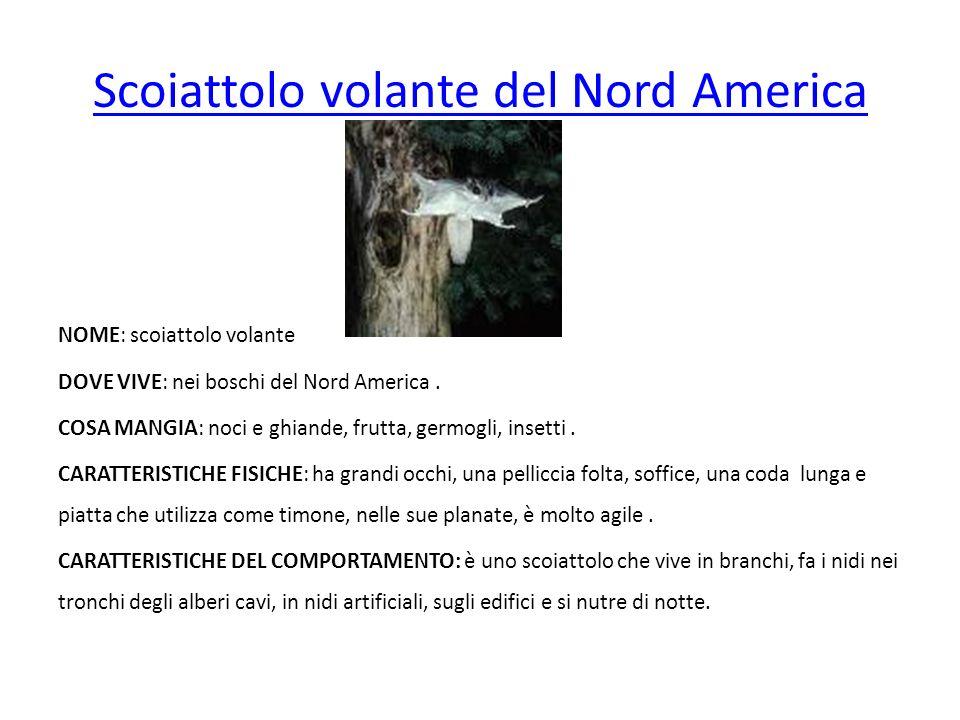 Scoiattolo volante del Nord America NOME: scoiattolo volante DOVE VIVE: nei boschi del Nord America. COSA MANGIA: noci e ghiande, frutta, germogli, in