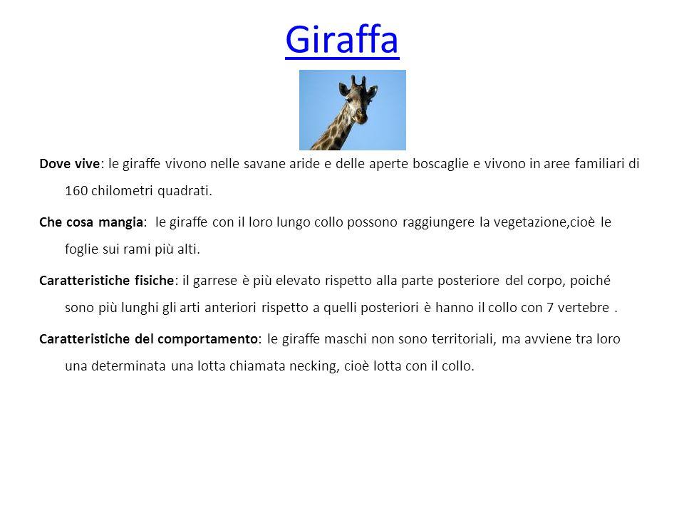 Giraffa Nome: giraffa camelapardalis Dove vive: nella savana.
