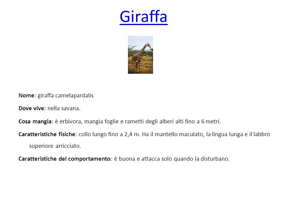 Giraffa Nome: giraffa camelapardalis Dove vive: nella savana. Cosa mangia: è erbivora, mangia foglie e rametti degli alberi alti fino a 6 metri. Carat