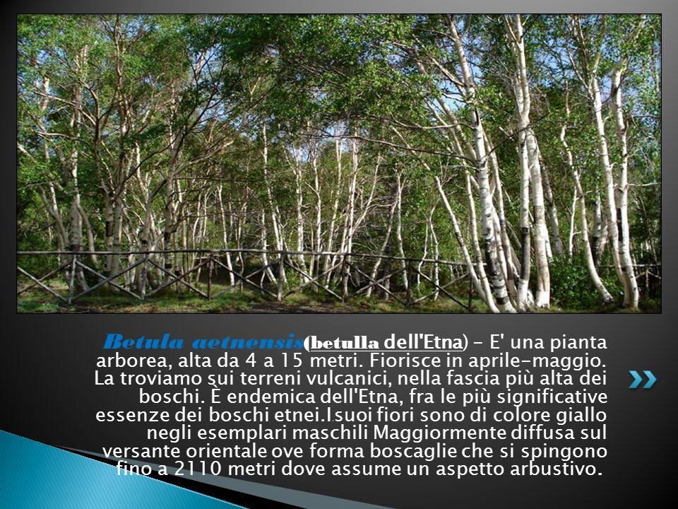 Betula aetnensis (betulla dell'Etna) - E' una pianta arborea, alta da 4 a 15 metri. Fiorisce in aprile-maggio. La troviamo sui terreni vulcanici, nell
