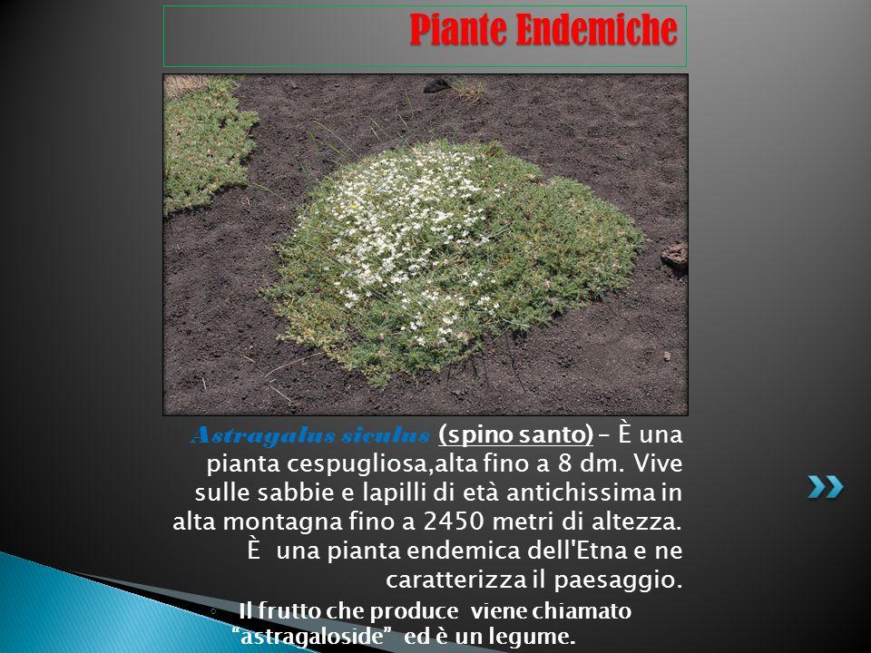 Astragalus siculus (spino santo) – È una pianta cespugliosa,alta fino a 8 dm. Vive sulle sabbie e lapilli di età antichissima in alta montagna fino a