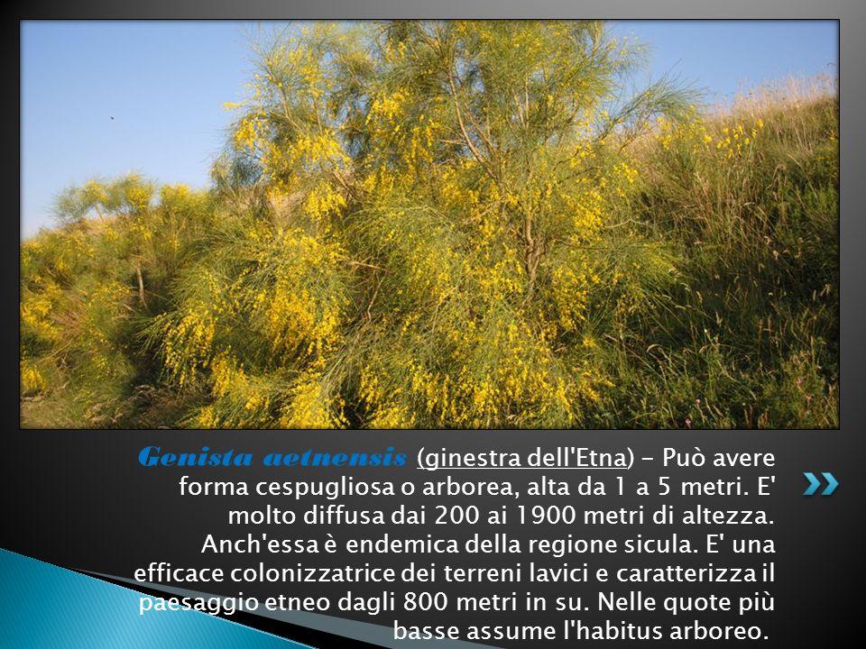 Genista aetnensis (ginestra dell'Etna) - Può avere forma cespugliosa o arborea, alta da 1 a 5 metri. E' molto diffusa dai 200 ai 1900 metri di altezza