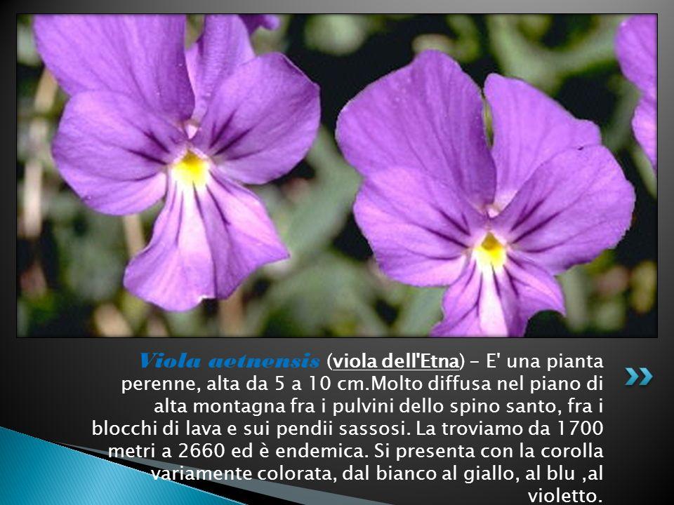 Viola aetnensis (viola dell'Etna) - E' una pianta perenne, alta da 5 a 10 cm.Molto diffusa nel piano di alta montagna fra i pulvini dello spino santo,