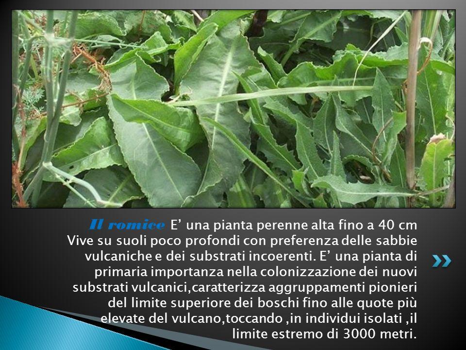 Il romice E una pianta perenne alta fino a 40 cm Vive su suoli poco profondi con preferenza delle sabbie vulcaniche e dei substrati incoerenti. E una
