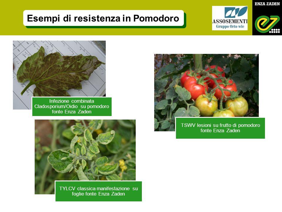Infezione combinata Cladosporium/Oidio su pomodoro fonte Enza Zaden TSWV lesioni su frutto di pomodoro fonte Enza Zaden TYLCV classica manifestazione su foglie fonte Enza Zaden