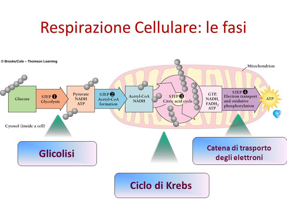 Respirazione Cellulare: le fasi GlicolisiCiclo di Krebs Catena di trasporto degli elettroni