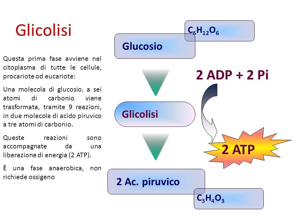 Questa prima fase avviene nel citoplasma di tutte le cellule, procariote od eucariote: Una molecola di glucosio, a sei atomi di carbonio viene trasfor
