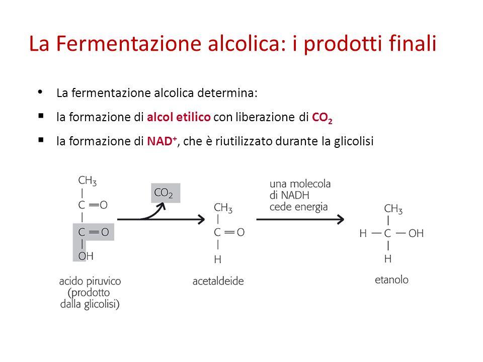 La Fermentazione alcolica: i prodotti finali La fermentazione alcolica determina: la formazione di alcol etilico con liberazione di CO 2 la formazione