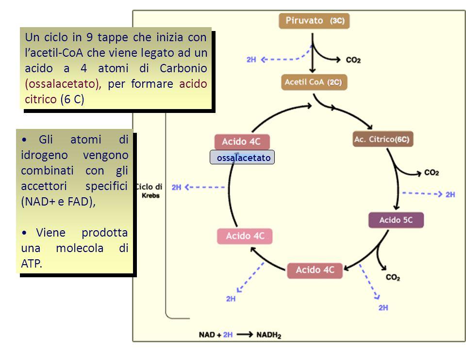 Un ciclo in 9 tappe che inizia con lacetil-CoA che viene legato ad un acido a 4 atomi di Carbonio (ossalacetato), per formare acido citrico (6 C) Dura