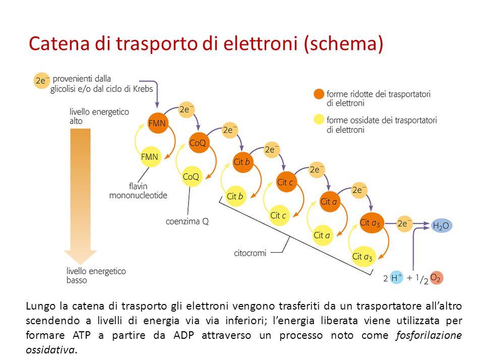 Catena di trasporto di elettroni (schema) Lungo la catena di trasporto gli elettroni vengono trasferiti da un trasportatore allaltro scendendo a livel
