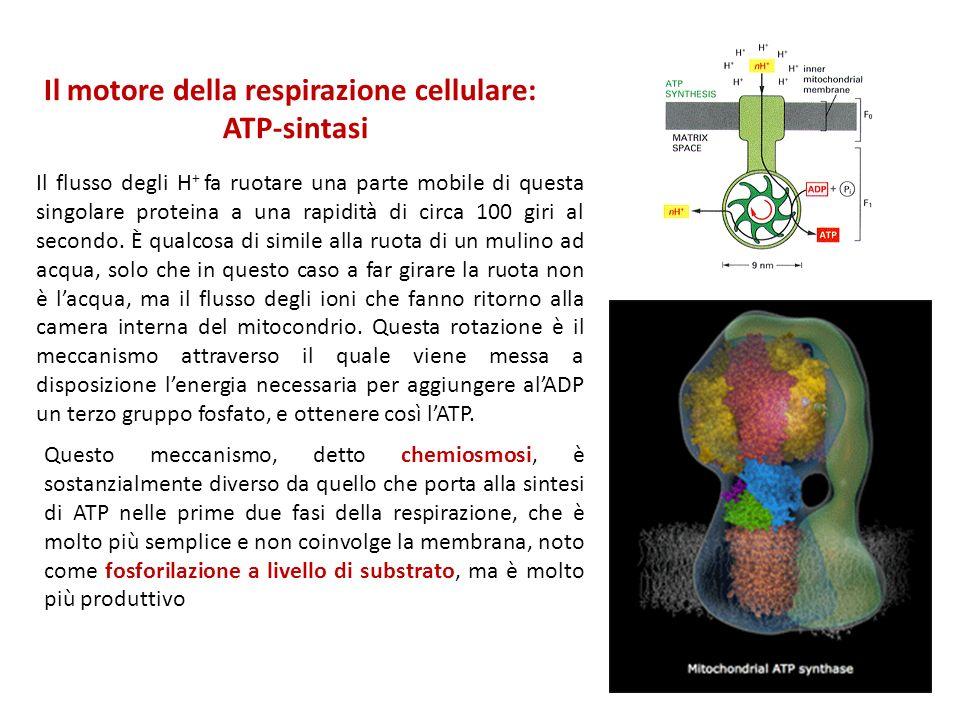 Il motore della respirazione cellulare: ATP-sintasi Il flusso degli H + fa ruotare una parte mobile di questa singolare proteina a una rapidità di cir