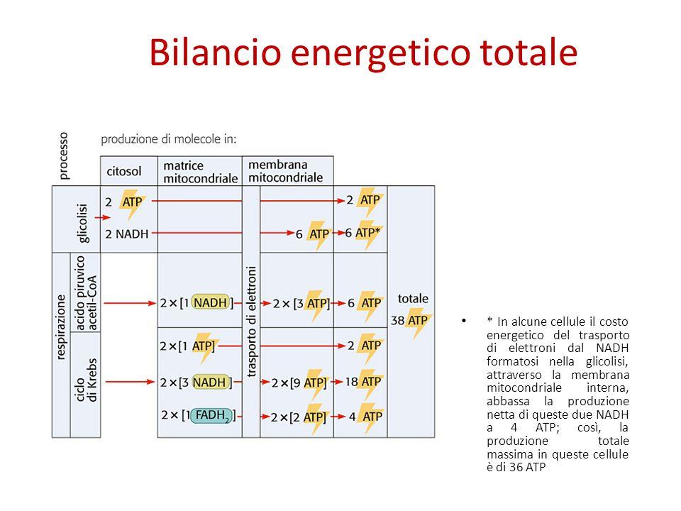 Bilancio energetico totale * In alcune cellule il costo energetico del trasporto di elettroni dal NADH formatosi nella glicolisi, attraverso la membra