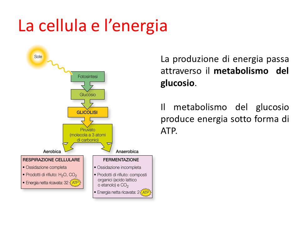 La cellula e lenergia La produzione di energia passa attraverso il metabolismo del glucosio. Il metabolismo del glucosio produce energia sotto forma d