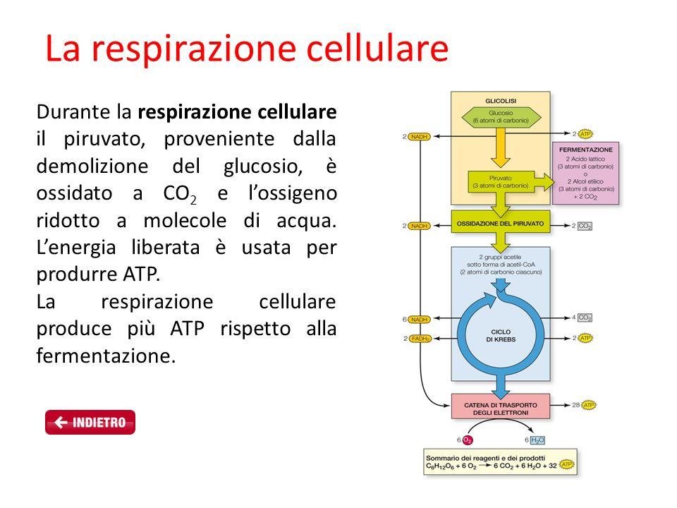 Durante la respirazione cellulare il piruvato, proveniente dalla demolizione del glucosio, è ossidato a CO 2 e lossigeno ridotto a molecole di acqua.