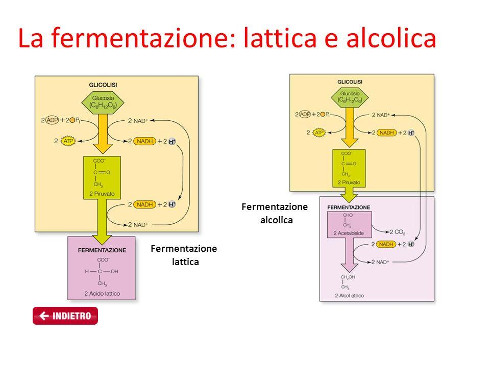 Fermentazione alcolica Fermentazione lattica La fermentazione: lattica e alcolica