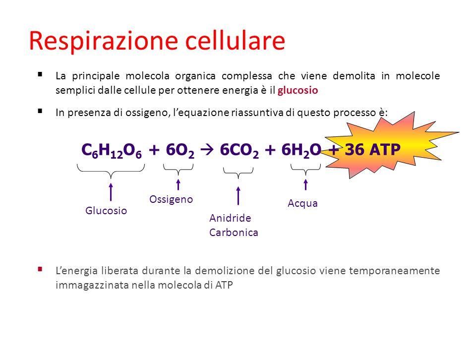 C 6 H 12 O 6 + 6O 2 6CO 2 + 6H 2 O + 36 ATP Glucosio Ossigeno Anidride Carbonica Acqua Respirazione cellulare La principale molecola organica compless
