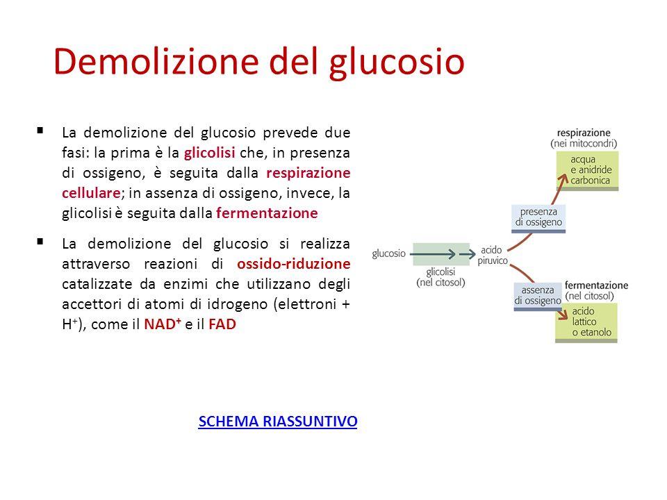 La demolizione del glucosio prevede due fasi: la prima è la glicolisi che, in presenza di ossigeno, è seguita dalla respirazione cellulare; in assenza