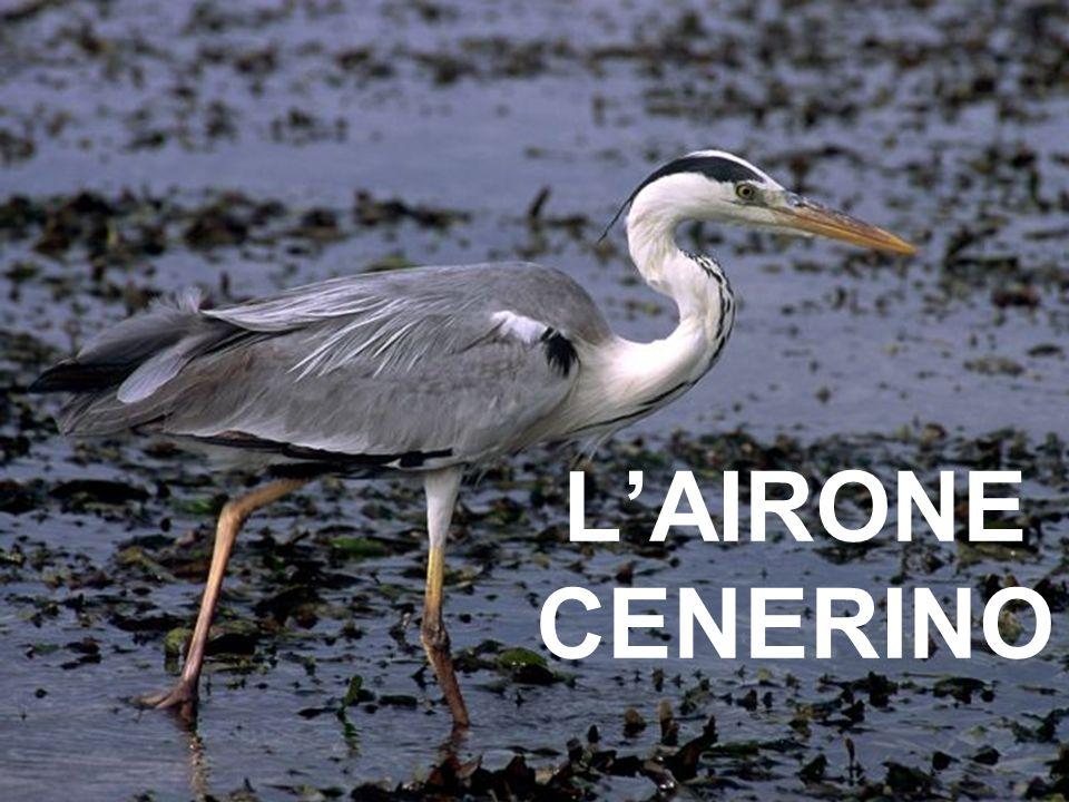 LAIRONE CENERINO
