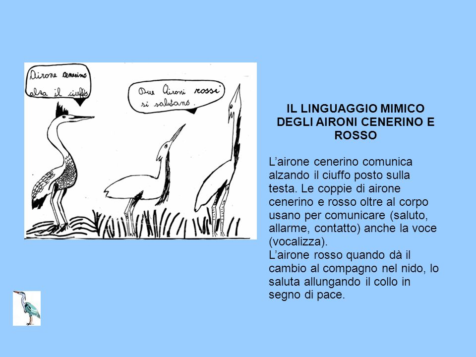 IL LINGUAGGIO MIMICO DEGLI AIRONI CENERINO E ROSSO Lairone cenerino comunica alzando il ciuffo posto sulla testa. Le coppie di airone cenerino e rosso