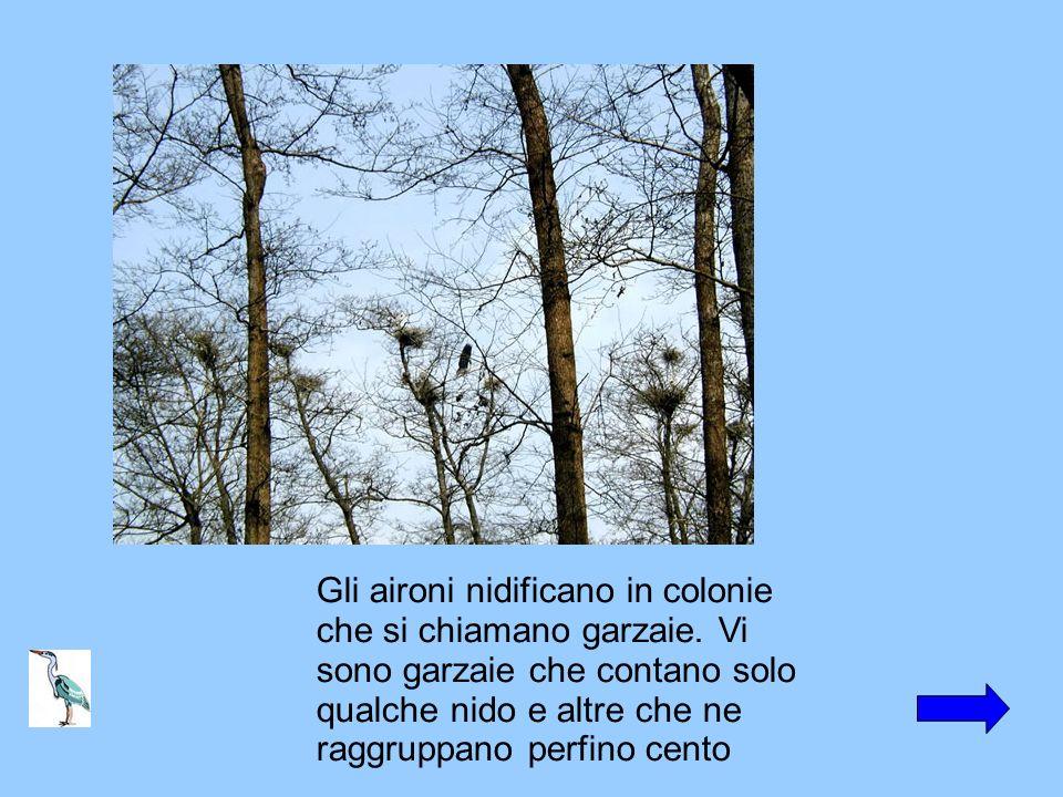 Gli aironi nidificano in colonie che si chiamano garzaie. Vi sono garzaie che contano solo qualche nido e altre che ne raggruppano perfino cento
