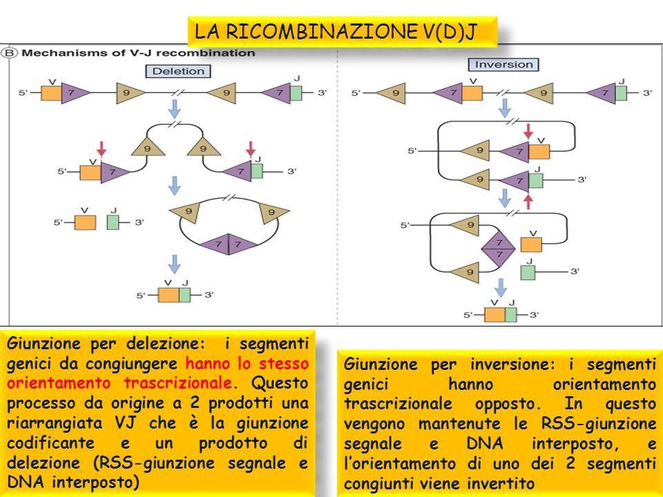 Giunzione per delezione: i segmenti genici da congiungere hanno lo stesso orientamento trascrizionale. Questo processo da origine a 2 prodotti una ria