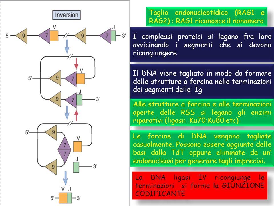 Taglio endonucleotidico (RAG1 e RAG2) : RAG1 riconosce il nonamero Alle strutture a forcina e alle terminazioni aperte delle RSS si legano gli enzimi