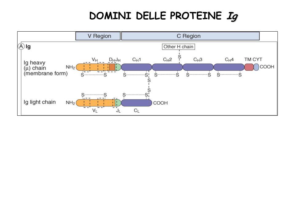 Ig DOMINI DELLE PROTEINE Ig