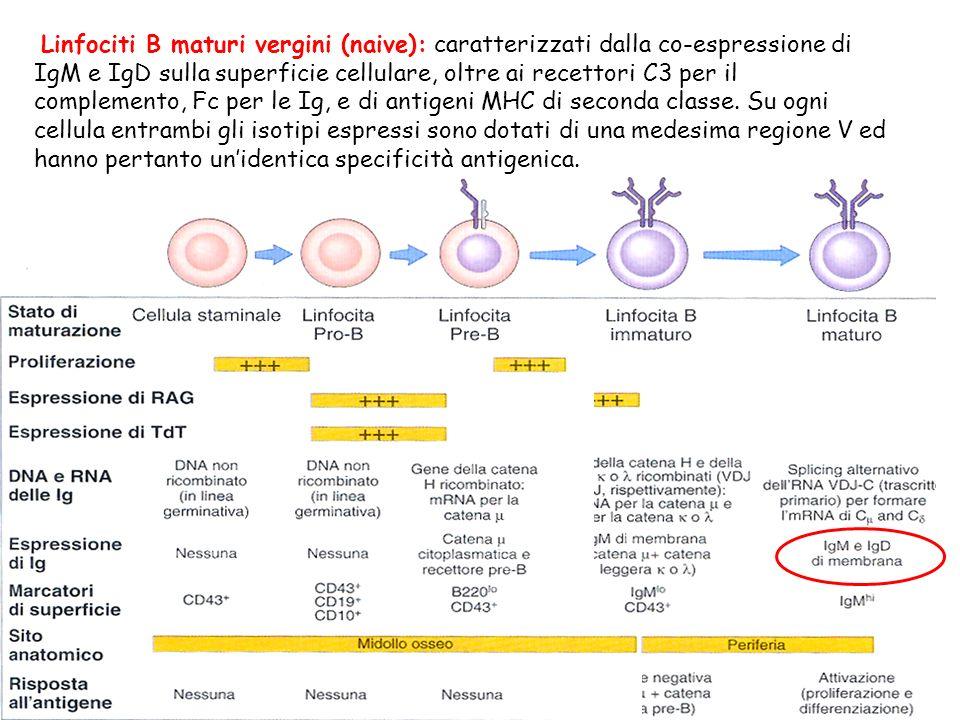 Linfociti B maturi vergini (naive): caratterizzati dalla co-espressione di IgM e IgD sulla superficie cellulare, oltre ai recettori C3 per il compleme