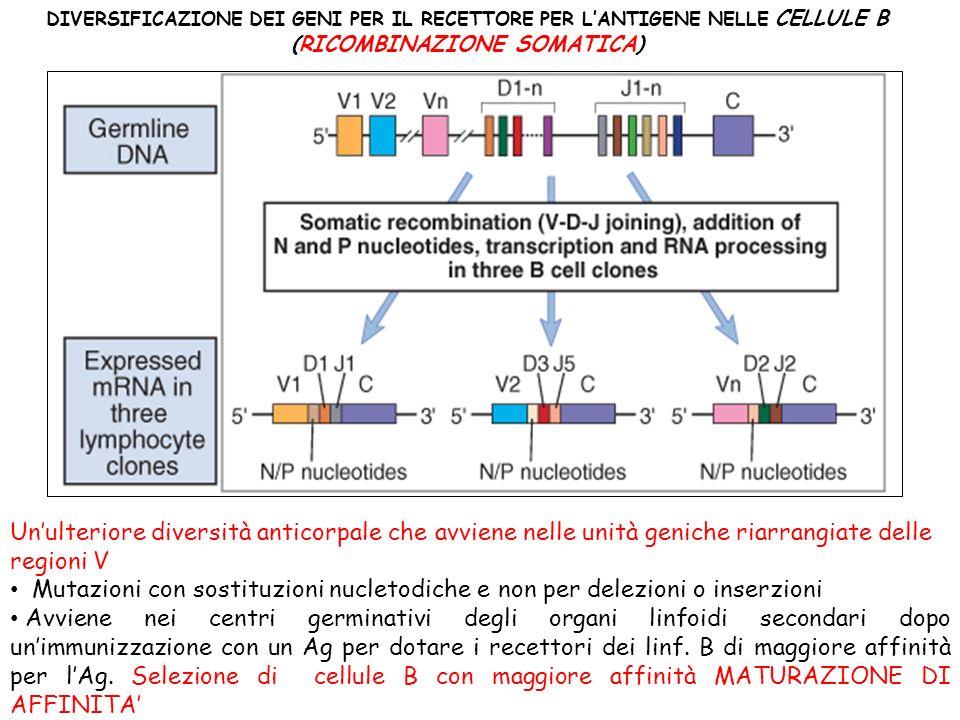 DIVERSIFICAZIONE DEI GENI PER IL RECETTORE PER LANTIGENE NELLE CELLULE B (RICOMBINAZIONE SOMATICA) Unulteriore diversità anticorpale che avviene nelle