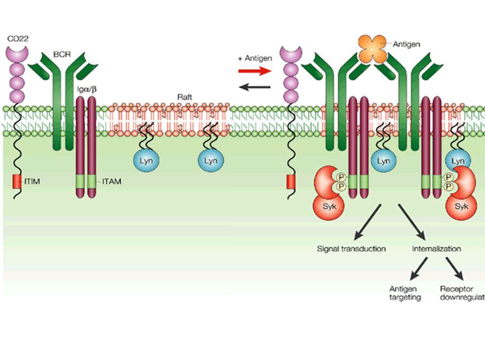 Le IgM hanno un dominio in più nella catena pesante rispetto alle IgG ed ha porzioni citoplasmatiche che ancorano la molecola alla membrana.