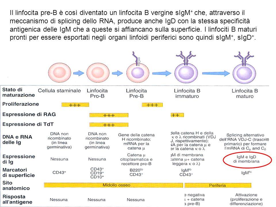 Il linfocita pre-B è così diventato un linfocita B vergine sIgM + che, attraverso il meccanismo di splicing dello RNA, produce anche IgD con la stessa