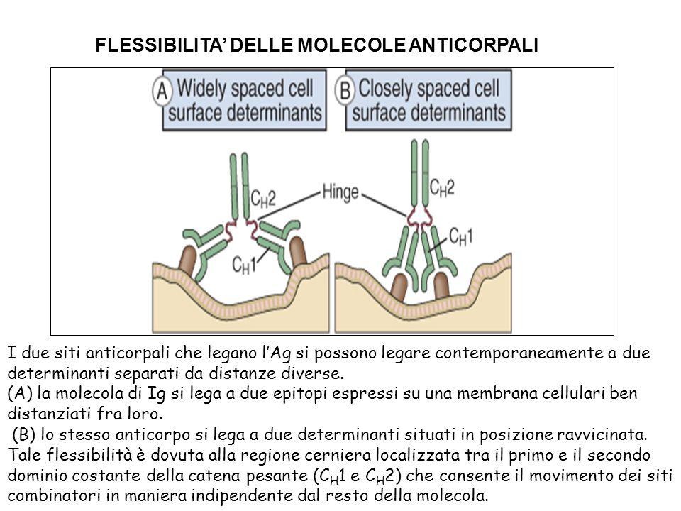FLESSIBILITA DELLE MOLECOLE ANTICORPALI I due siti anticorpali che legano lAg si possono legare contemporaneamente a due determinanti separati da dist
